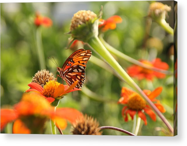 Butterfly Acrylic Print featuring the photograph Orange On Orange by Robert Johnston