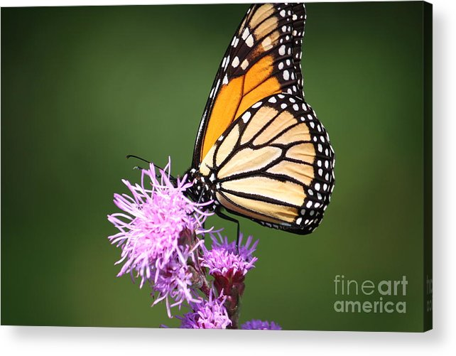 Butterfly Acrylic Print featuring the photograph Life by Lindsay Felty