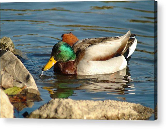 Duck Acrylic Print featuring the photograph 120109-139 by Mike Davis