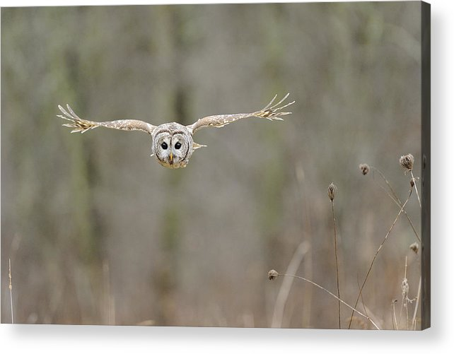Barred Acrylic Print featuring the photograph Barred Owl In Flight II by Scott Linstead