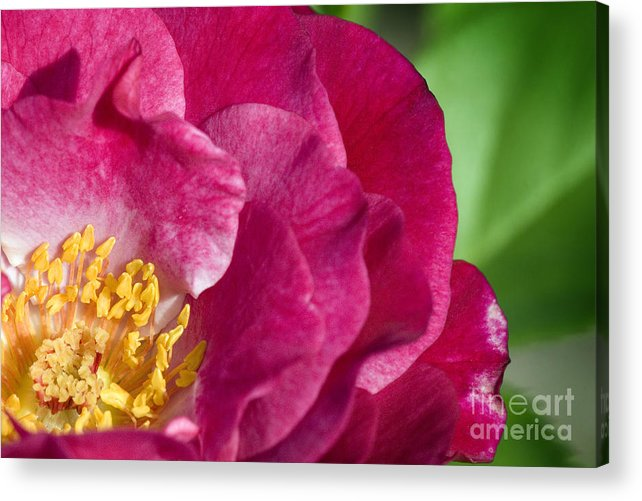 Rose Acrylic Print featuring the photograph Bright Rose Bloom by Jeannie Burleson
