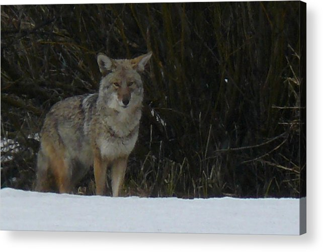 Wild Life Acrylic Print featuring the photograph Coyote by Errol Savage