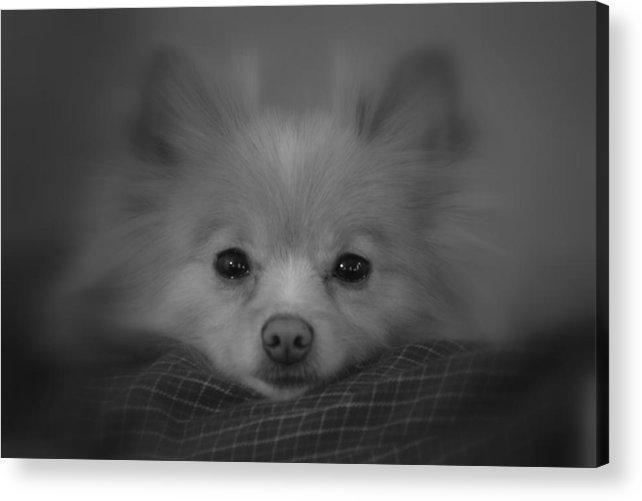 Dog Acrylic Print featuring the photograph Day Dreamer by Christina Davis