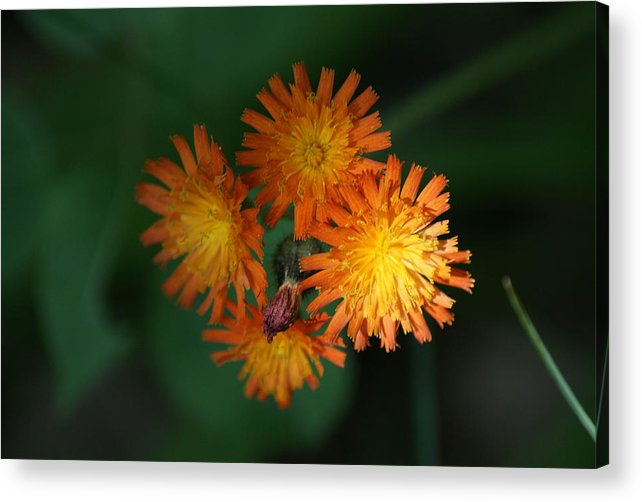 Flower Acrylic Print featuring the photograph Devils Paintbrush by Ron Read