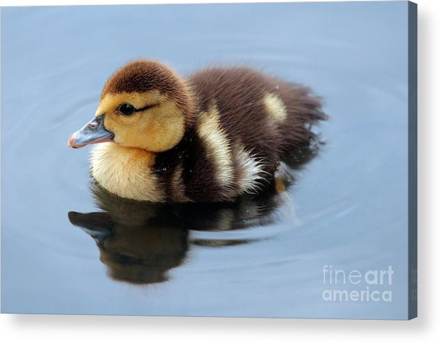Baby Acrylic Print featuring the photograph Duckling by Jeannie Burleson