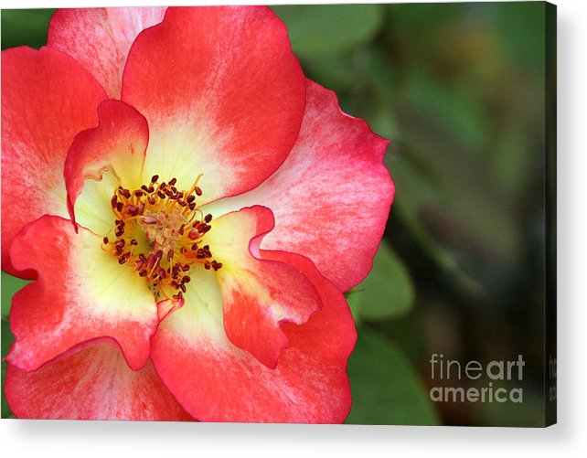 Rose Acrylic Print featuring the photograph Full Bloom by Jeannie Burleson