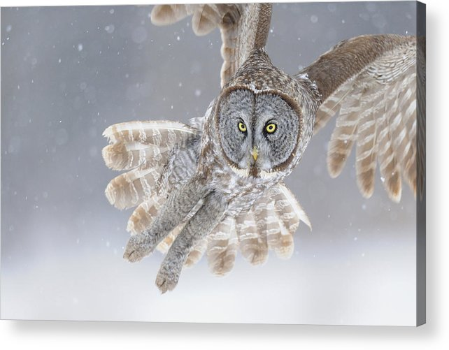 Great Acrylic Print featuring the photograph Great Grey Owl In Snowstorm by Scott Linstead