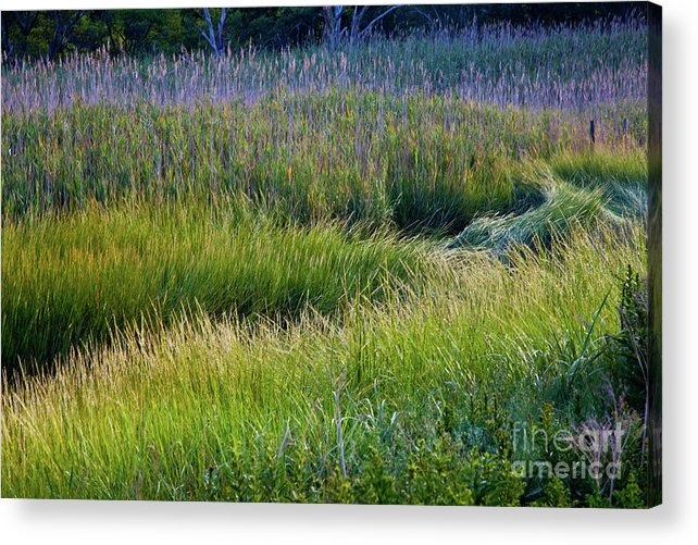 August Acrylic Print featuring the photograph Great Marsh Grass by Susan Cole Kelly