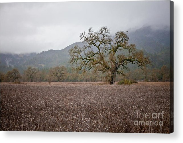 Sonoma County Acrylic Print featuring the photograph Highway Oak by Derek Selander