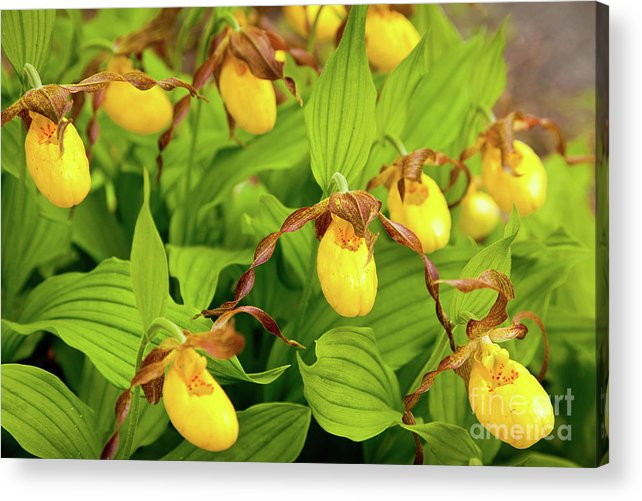 Acadia National Park Acrylic Print featuring the photograph Large Yellow Lady's Slipper by Susan Cole Kelly