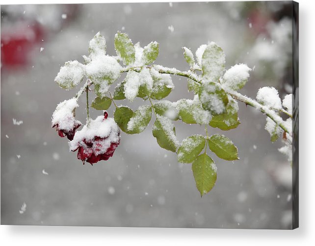 Flower Acrylic Print featuring the photograph October Snow by Tom Bushey