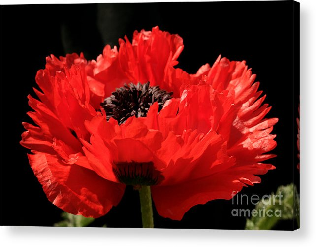 Poppy Acrylic Print featuring the photograph Red Orange Oriental Poppy by Robert Nankervis