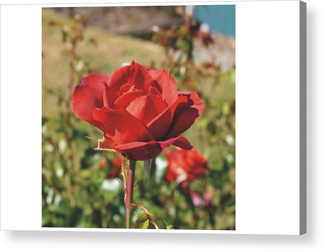 Roses Acrylic Print featuring the photograph Red Rose 1 by Mike Mullins