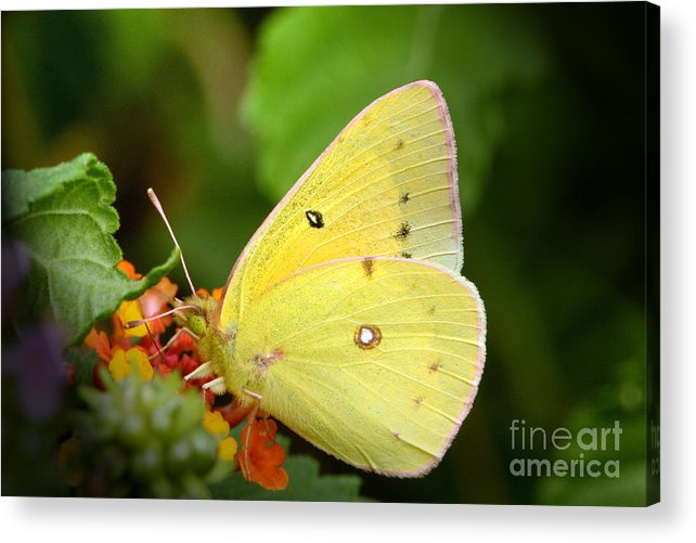 Yellow Acrylic Print featuring the photograph Sipping Nectar by Jeannie Burleson