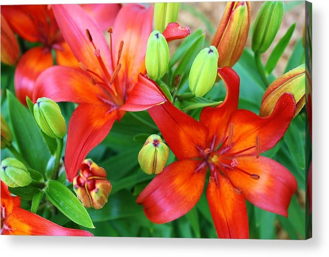 Lilies Acrylic Print featuring the photograph Spectacular Day Lilies by Bruce Bley
