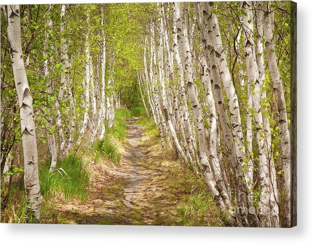 Acadia National Park Acrylic Print featuring the photograph Spring Birch by Susan Cole Kelly