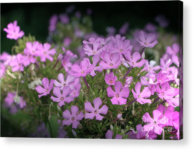 Summer Acrylic Print featuring the photograph Summer Phlox by Jeannie Burleson