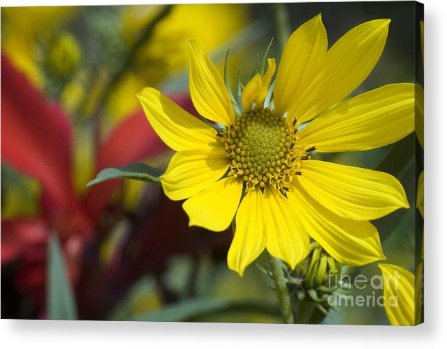 Yellow Acrylic Print featuring the photograph Sunny Blooms by Jeannie Burleson