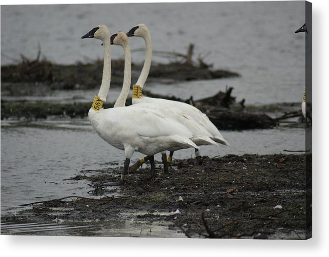 Trumpeter Swan Acrylic Print featuring the photograph Swans Line Dancing by Ron Read