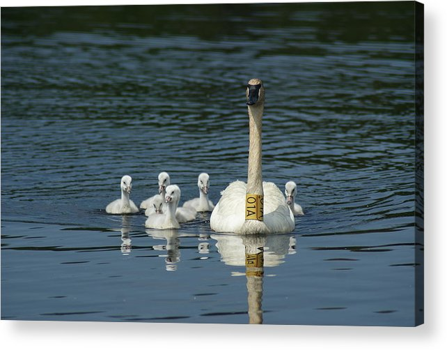 Nature Acrylic Print featuring the photograph Trumpeter Swan With Cygnets by Ron Read
