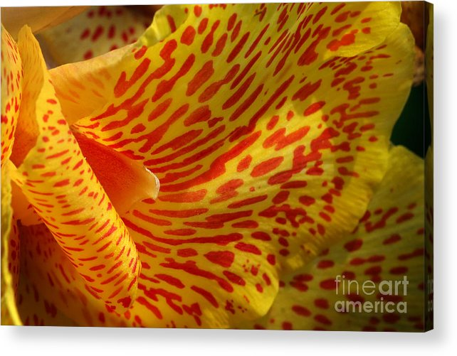 Canna Acrylic Print featuring the photograph Wild Petals by Jeannie Burleson