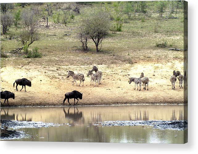 Zebra Acrylic Print featuring the photograph Watering Hole by Charles Ridgway