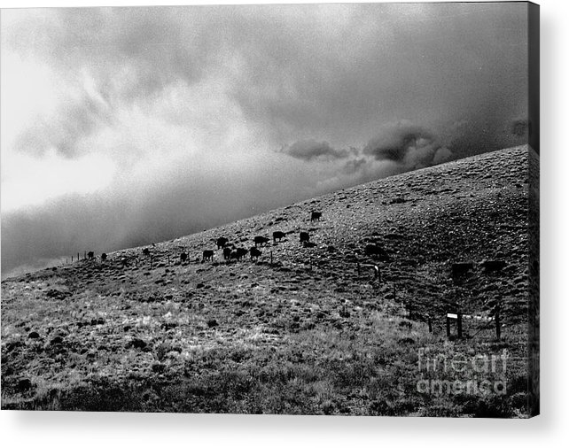 Cattle Acrylic Print featuring the photograph Before The Storm by Susan Chandler