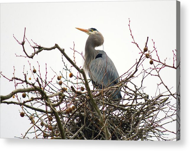Great Blue Heron Acrylic Print featuring the photograph 040111-70  The Home Guard by Mike Davis