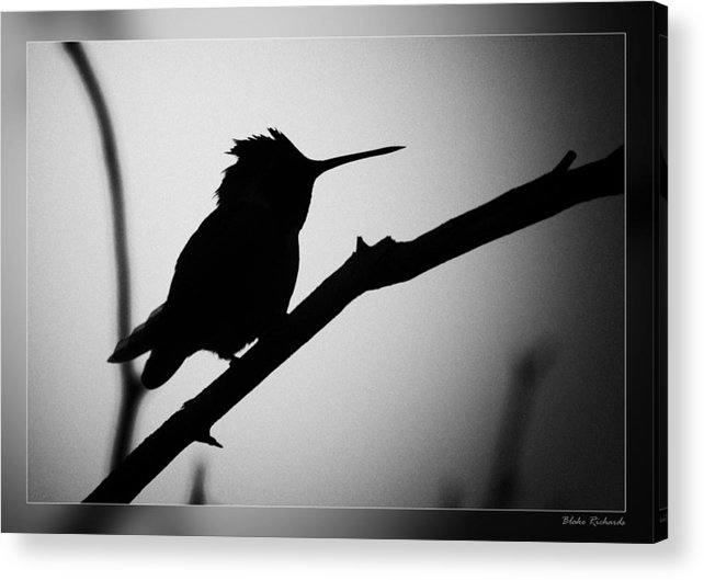 Fine Art Photographers Acrylic Print featuring the photograph Silhouette Humming Bird by Blake Richards