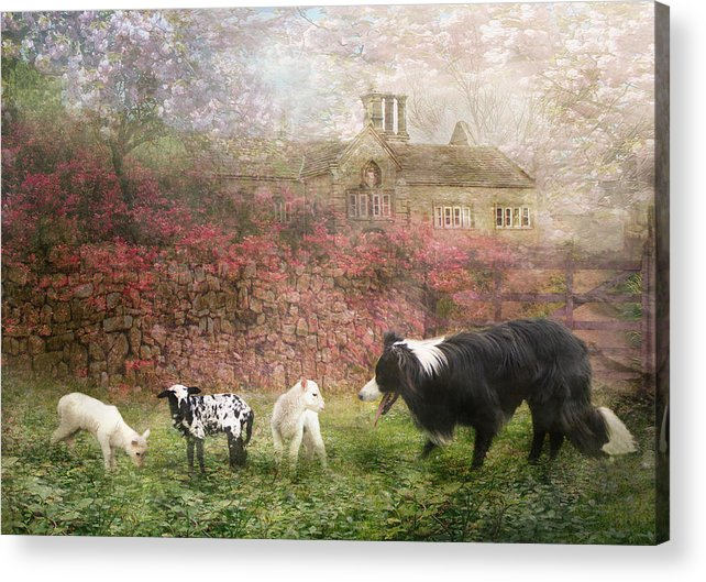 Border Collie Acrylic Print featuring the photograph The Babysitter by Trudi Simmonds