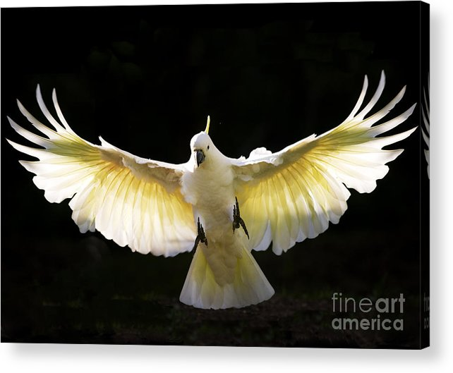 Sulphur Crested Cockatoo Australian Wildlife Acrylic Print featuring the photograph Sulphur Crested Cockatoo In Flight by Sheila Smart Fine Art Photography