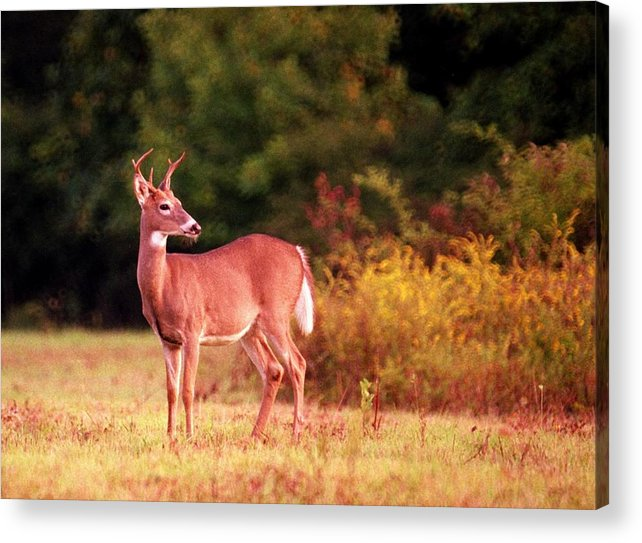 Deer Acrylic Print featuring the photograph 070406-58 by Mike Davis