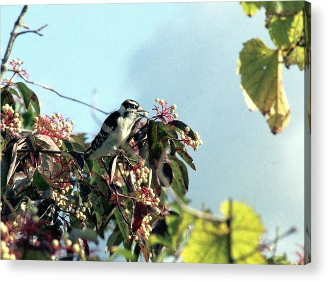 Woodpecker Acrylic Print featuring the photograph 070406-52 by Mike Davis