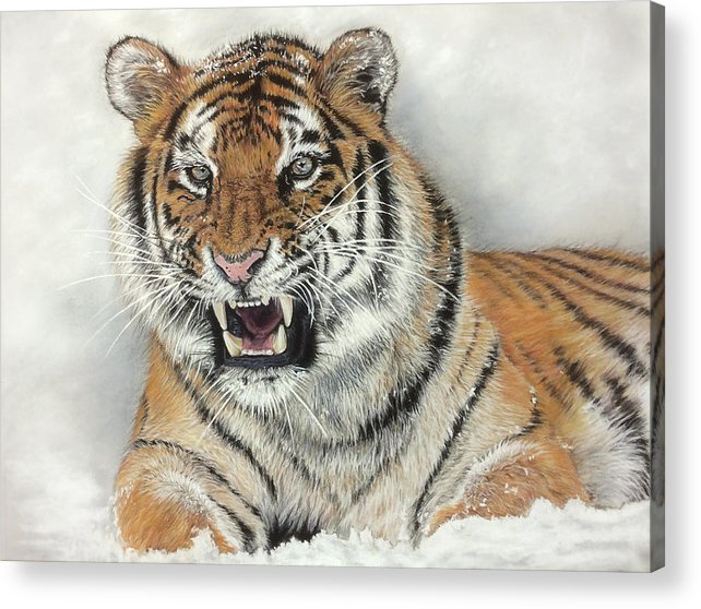 Pastel Wildlife Tiger Nature Acrylic Print featuring the pastel Tiger by Sandra Bartels
