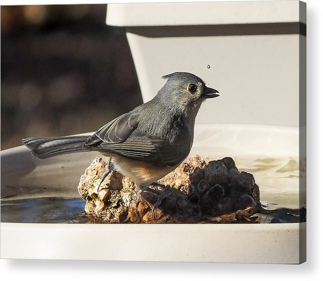 Titmouse Acrylic Print featuring the photograph Titmouse Drinking by Paula Ponath