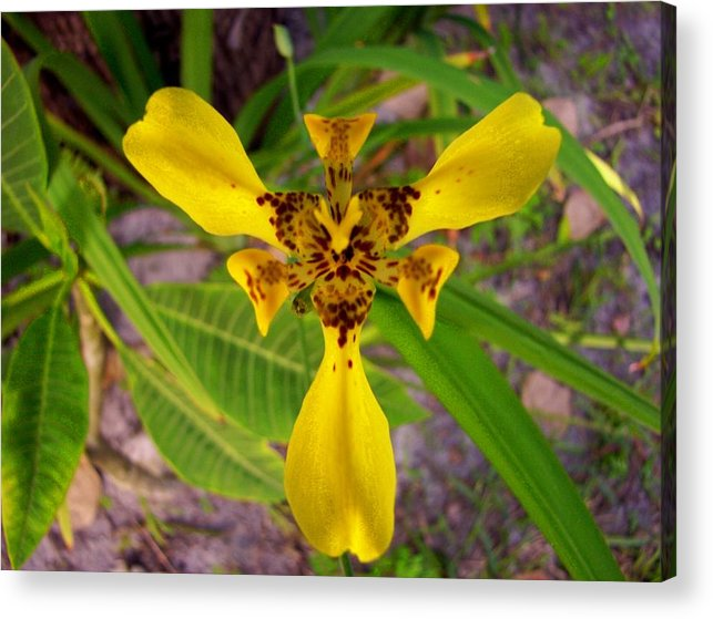 Flower Acrylic Print featuring the photograph Cat's Meow by Charles Peck