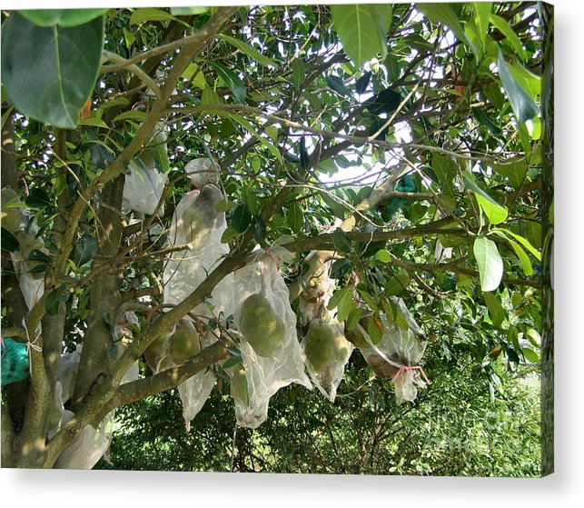 Durian Acrylic Print featuring the photograph Durian Tree Hong Kong by Kathy Daxon