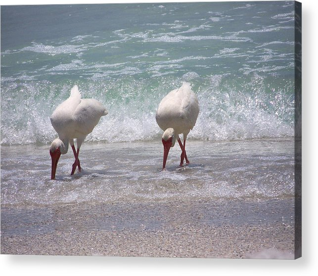 White Ibis Acrylic Print featuring the photograph In Paired by Amanda Vouglas