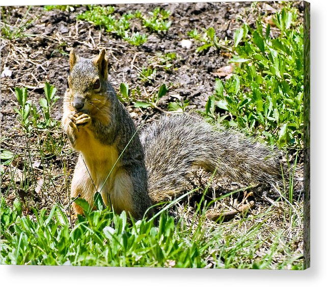 Red Squirrel Acrylic Print featuring the photograph Red Squirrel by Bob and Nadine Johnston