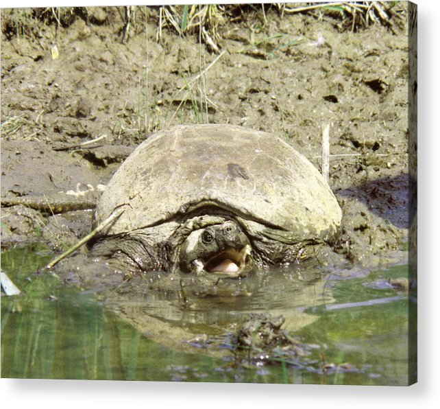 Turtle Acrylic Print featuring the photograph 070406-73 As Mean As He Looks by Mike Davis