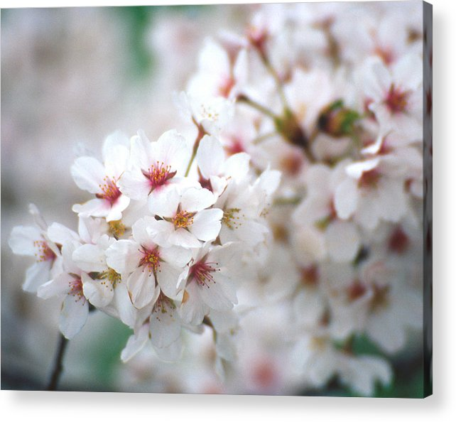Flowers Acrylic Print featuring the photograph Cherry Blossom Close-up No. 6 by Karen Garvin