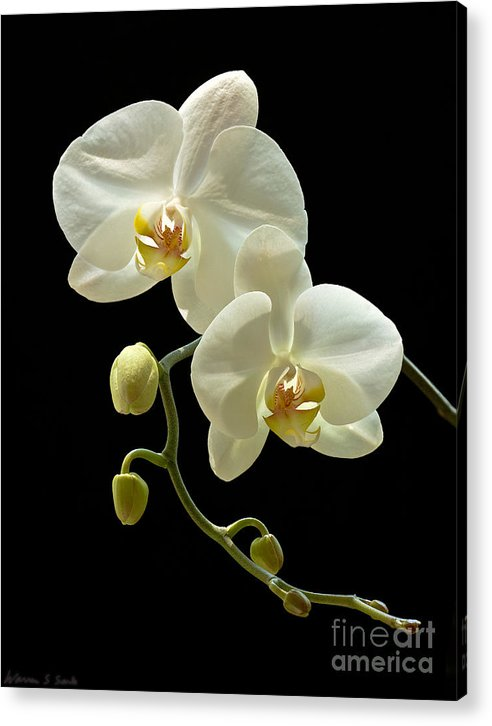 Orchid Acrylic Print featuring the photograph White Orchid On Black Background by Warren Sarle