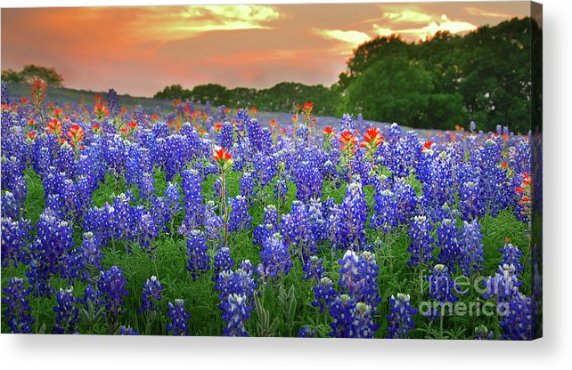Springtime Sunset In Texas Texas Bluebonnet Wildflowers