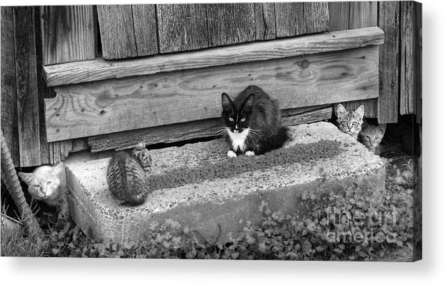 Cats Acrylic Print featuring the photograph Meal Time by Pete Hellmann