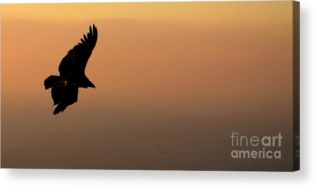 Natural Acrylic Print featuring the photograph California Condor Flying Out Of The Darkness by Max Allen