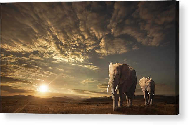 Elephants Acrylic Print featuring the photograph Walking In Savannah by Jackson Carvalho
