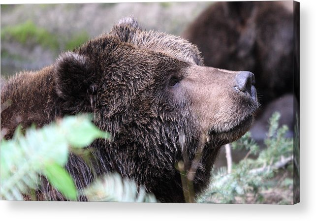 Northwest Trek Acrylic Print featuring the photograph Grizzley - 0010 by S and S Photo
