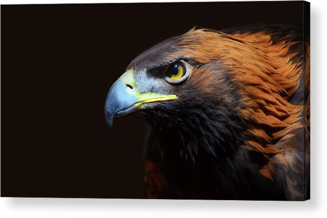 Animal Themes Acrylic Print featuring the photograph Female Golden Eagle by A L Christensen