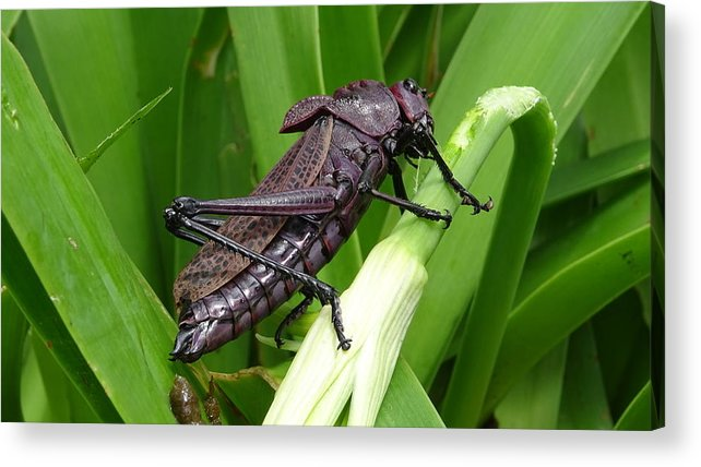 Acrylic Print featuring the photograph Grasshopper by Stanley Vreedeveld