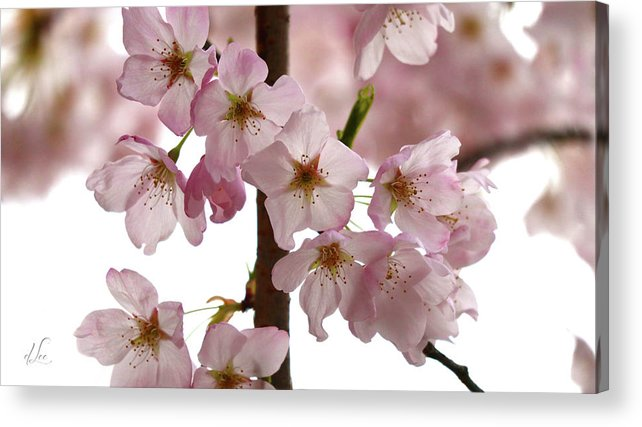 Apple Acrylic Print featuring the photograph Budding Apple Blossom Power by D Lee